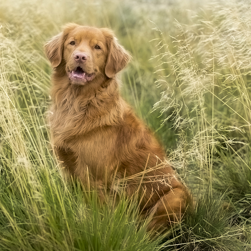 Nova scotia duck tolling retriever (7)_1
