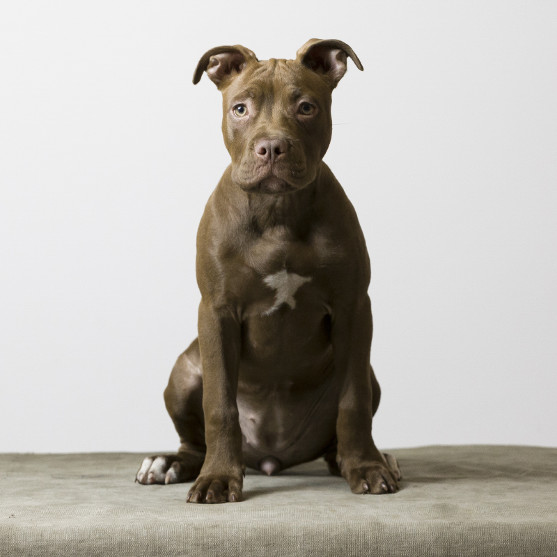 American Pit Bull Terrier Red Nose puppy