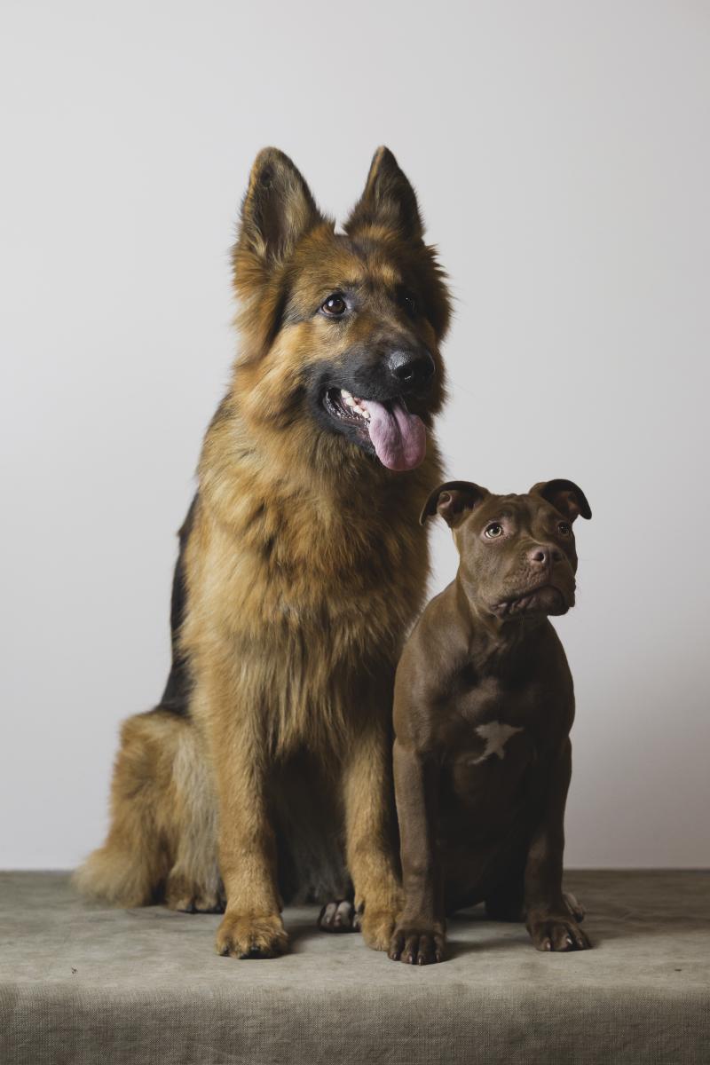 Owczarek Niemiecki + American Pit Bull Terrier Red Nose